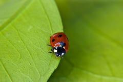 Ladybug su un foglio Fotografia Stock Libera da Diritti