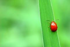 Ladybug su un foglio verde Fotografie Stock