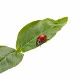 Ladybug su un foglio verde Fotografia Stock Libera da Diritti