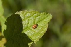 Ladybug su un foglio verde Fine in su immagini stock libere da diritti