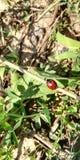 Ladybug su una camminata fotografia stock