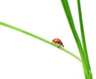 Ladybug su una lamierina di erba verde immagini stock libere da diritti