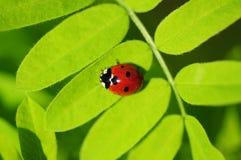 Ladybug su una pianta Fotografie Stock Libere da Diritti
