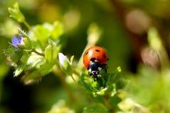 Ladybug su una pianta Immagini Stock Libere da Diritti