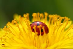 Ladybug sul dente di leone Fotografia Stock Libera da Diritti