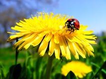 Ladybug sul dente di leone Fotografia Stock