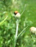 Ladybug sul fiore fotografia stock
