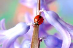 Ladybug sul fiore immagini stock