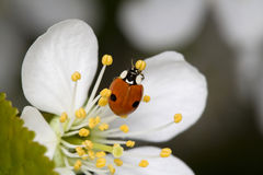 Ladybug sul fiore della ciliegia Fotografia Stock