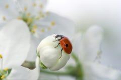 Ladybug sul fiore della sorgente Fotografia Stock