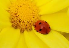 Ladybug sul fiore giallo Fotografia Stock Libera da Diritti