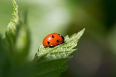 Ladybug sul foglio Immagine Stock Libera da Diritti
