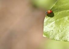 Ladybug sul foglio Fotografia Stock