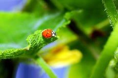 Ladybug sul foglio Immagini Stock