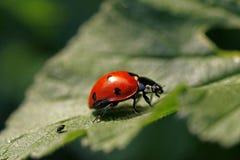 Ladybug sul foglio fotografie stock libere da diritti