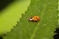Ladybug sul foglio verde Immagine Stock