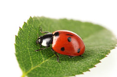 Ladybug sul foglio verde fotografie stock
