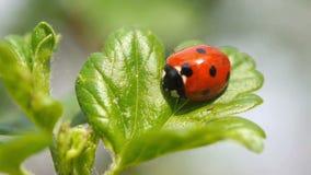 Ladybug sul foglio verde stock footage