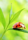 Ladybug sul foglio verde fresco. immagine stock