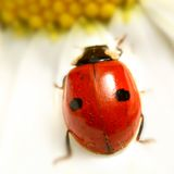 Ladybug sulla camomilla Fotografie Stock