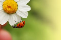Ladybug sulla margherita Fotografie Stock Libere da Diritti