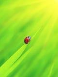 Ladybug with sun Stock Image
