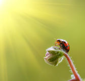 Ladybug in the sun. Stock Photos