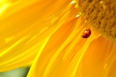 Ladybug on sunflower Stock Photography