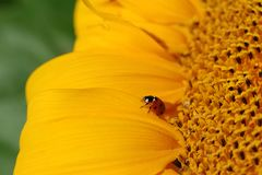 Ladybug on sunflower Stock Image