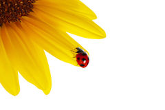Ladybug on sunflower Royalty Free Stock Images