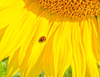 Ladybug on sunflower. Ladybug on the sunflower field stock photos
