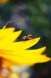 Ladybug on sunflower Stock Photos