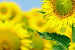 Ladybug and sunflower Royalty Free Stock Photo