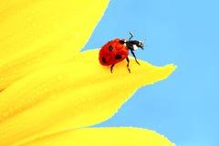 Ladybug on sunflower Stock Image