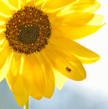 Ladybug on a sunflower on a bright sunflower Stock Image