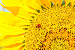 Ladybug on sunflower close up Royalty Free Stock Images