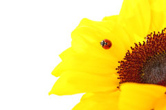 Ladybug on a sunflower isolated on white Stock Photography