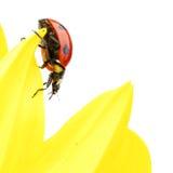 Ladybug on sunflower Royalty Free Stock Photos