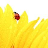 Ladybug on sunflower Stock Photography