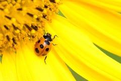 Ladybug on Sunflower Royalty Free Stock Images