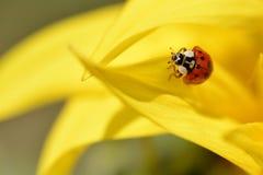 Ladybug on sunflower petal Stock Images