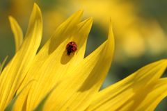 Ladybug & Sunflower Royalty Free Stock Image
