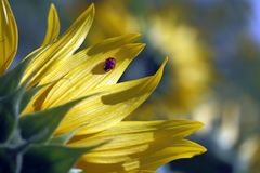 Ladybug on sunflower Royalty Free Stock Image