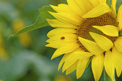 Ladybug on sunflower Royalty Free Stock Photo