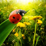 Ladybug sunlight. On the field Stock Photo