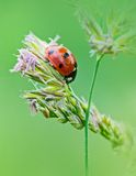 Ladybug sunlight on the field. Beautiful close up of red ladybug in nature Royalty Free Stock Image