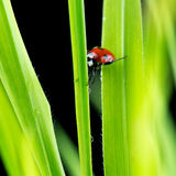 Ladybug suspended between two green leaves Royalty Free Stock Photos