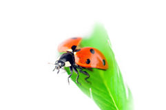Ladybug take off Stock Image