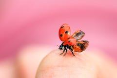 Ladybug taking flight Royalty Free Stock Photos