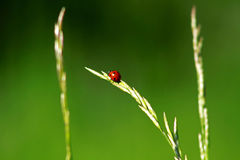 Ladybug on thin green stalk Royalty Free Stock Photo